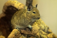 Degu-Zoo HD-12_06_2010-8406